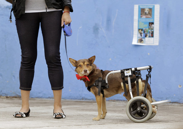 A disabled dog named Christmas stands during a charity event in Minsk, Belarus August 11, 2012. (Photo by Vasily Fedosenko/Reuters)
