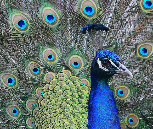 A peacock displays his feathers on March 17, 2015 at the zoo in Magdeburg, eastern Germany. (Photo by Jens Wolf/AFP Photo/DPA)