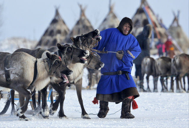In this photo taken on Sunday, March 15, 2015, a Nenets man pulls his reindeer at the Reindeer Herder's Day in the city of Nadym, in Yamal-Nenets Region, 2500 kilometers (about 1553 miles) northeast of Moscow, Russia. (Photo by Dmitry Lovetsky/AP Photo)
