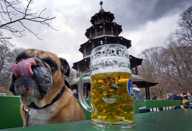 An english bulldog is pictured in the English garden on March 29, 2015 in Munich, Germany. (Photo by Peter Kneffel/AFP Photo/DPA)