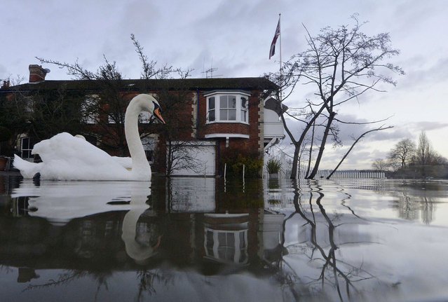 Swans swim near riverside properties partially submerged in floodwaters at Henley-on-Thames in southern England, January 13, 2014. Britain's insurers are preparing to pay out hundreds of millions of pounds in claims following a run of winter storms that have flooded homes and disrupted travel, though the absence of major damage should limit the impact on their 2013 results. (Photo by Toby Melville/Reuters)