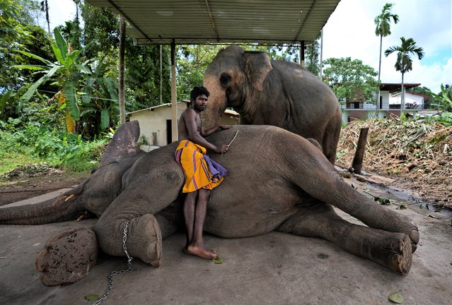 Sri Lankan mahout Nishanth relaxes with a tame elephant Suddi, who was recently released from government custody following a court order, in Pannipitiya, a suburb of Colombo, Sri Lanka, Sunday, September 12, 2021. (Photo by Eranga Jayawardena/AP Photo)