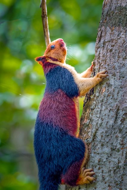 "The Indian giant squirrel is an upper-canopy dwelling species, which rarely leaves the trees, and requires ""tall profusely branched trees for the construction of nests"". It travels from tree to tree with jumps of up to 6 m (20 ft). When in danger, the Ratufa indica often freezes or flattens itself against the tree trunk, instead of fleeing. (Photo by Kaushik Vijayan/South West News Service)"