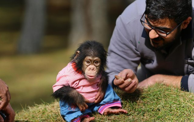 "A visitor takes care of the newborn baby chimpanzee named ""Can"" as its mom refused to have him at Gaziantep Zoo, in Gaziantep, Turkey on February 10, 2017. Nedim Aslan takes care of the newborn baby chimpanzee Can after raising it's mother chimpanzee ""Angel"". Gaziantep Zoo is the 1st in Turkey and 2nd in Europe in terms of having a big surface and wide range of species. (Photo by Adsiz Gunebakan/Anadolu Agency/Getty Images)"