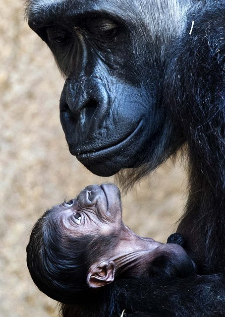 Gorilla mother Kumili arms her newborn at the zoo in Leipzig, central Germany, Thursday, March 20, 2014. The baby gorilla was born during the night between 10 and 11 March 2014 and its s*x is still unkown. It's the second  gorilla baby born  within four month in this monkey group. (Photo by Jens Meyer/AP Photo)