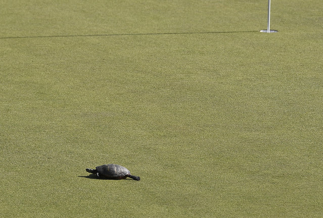 A turtle scoots across the 15th green during the final round of the Travelers Championship golf tournament, Sunday, June 23, 2019, in Cromwell, Conn. (Photo by Jessica Hill/AP Photo)