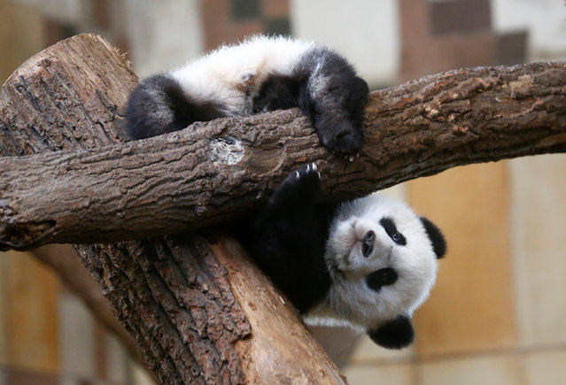 Giant Panda cub Fu Feng is seen in its enclosure at Schoenbrunn Zoo in Vienna, Austria, March 10, 2017. (Photo by Leonhard Foeger/Reuters)