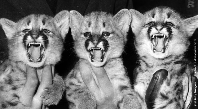 1965: No, not the popular folk singing group, though they look capable of snarling a tune, but the triplet Pumas born to Tess and Roger on December 5th at London Zoo