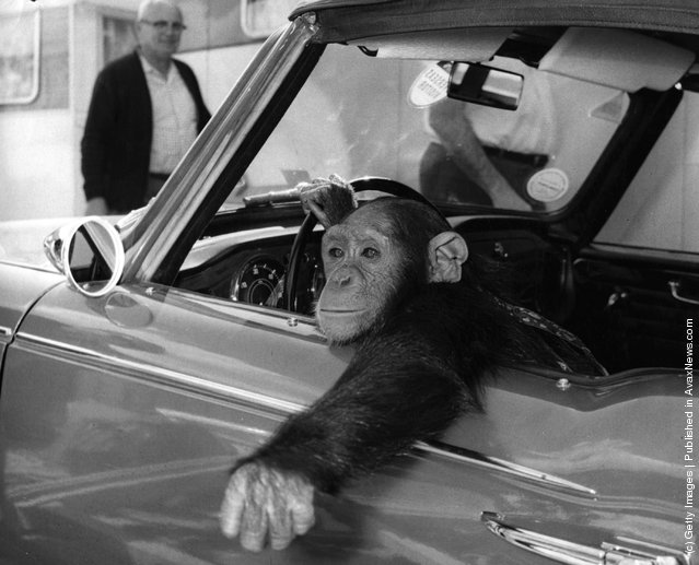 circa 1950:  A chimpanzee, called Chee-Chee, at the wheel