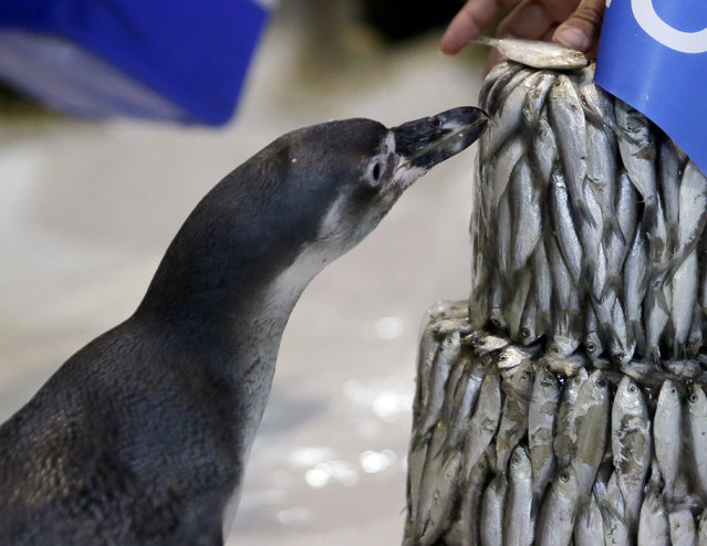 "The first Humboldt penguin born in the Philippines named ""Kaya"" is fed with a fish next to a three-tiered frozen ""fish cake"" placed in the penguin's habitat to celebrate its first birthday Wednesday, July 29, 2015 at the Manila Ocean Park, the country's largest oceanarium, in Manila, Philippines. (Photo by Bullit Marquez/AP Photo)"