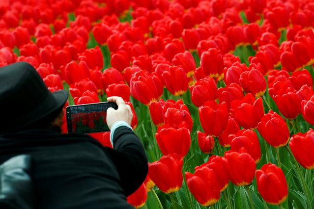 A woman photographs tulips in New York, U.S., April 27, 2017. (Photo by Brendan McDermid/Reuters)