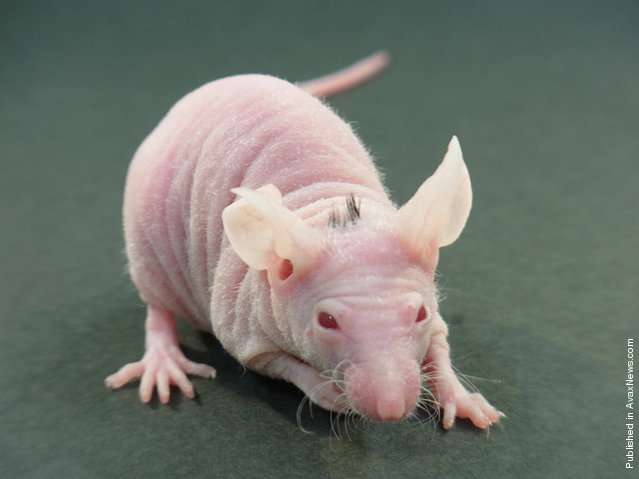 A hairless mouse with black hair on its back at the laboratory in Noda, Chiba Prefecture