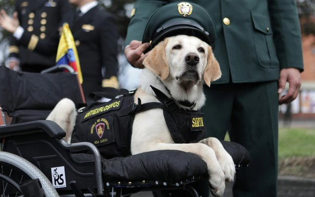 An injured anti-explosive dog is pictured ahead of a military parade to commemorate the 209th anniversary of Colombia's independence in Bogota, Colombia on July 20, 2019. (Photo by Luisa Gonzalez/Reuters)