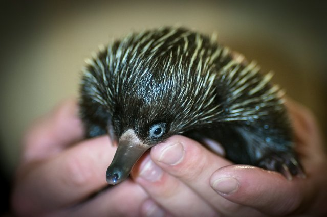 A handout picture released by the Zoo of Rostock on 20 July 2014 shows a Short-beaked echidna (lat.: Tachyglossus aculeatus lawesii) sitting in the hands of a keeper at the zoo of Rostock, Germany, 08 July 2014. The extremely rare breed born early 2014 is hand-fed by the zoo keepers since April 2014. (Photo by Axel Dobberti/EPA/Zoo Rostock)