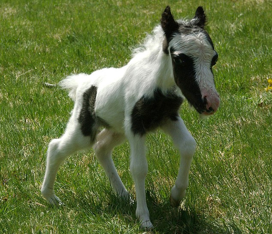 The World's Smallest Horse by named Einstein