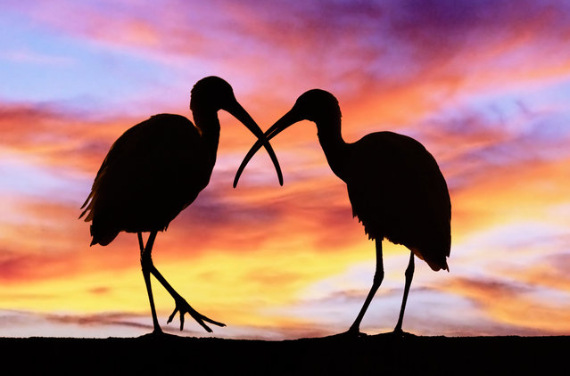 Silhouettes of two Ibis birds in Mt. Dora, Florida. (Photo by Caters News/Science Source/Ardea)