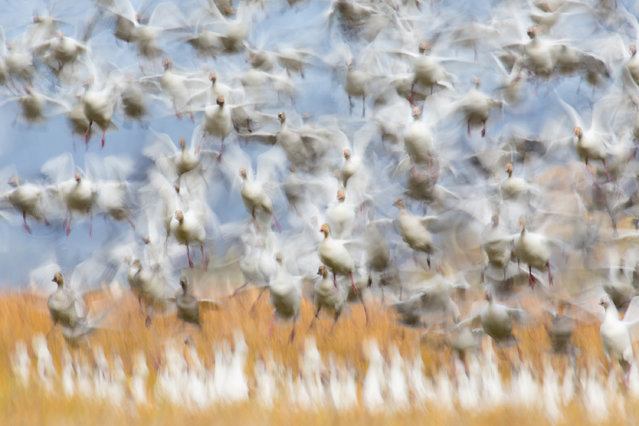 The German Society for Nature Photography (GDT) has selected its Nature Photographer of the Year 2020. Here: Winner, Birds. Flurin Leugger – Takeoff. A coyote panics geese. (Photo by lurin Leugger/2020 GDT Nature Photographer of the Year)