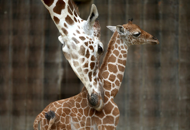 Bititi (L), an eleven year-old giraffe, brushes against its newborn calf at the San Francisco Zoo on August 29, 2014 in San Francisco, California. The San Francisco Zoo is welcoming a newborn male giraffe that was born on Tuesday, August 26 with a twin that died two days later. (Photo by Justin Sullivan/Getty Images)