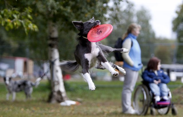 A dog catches a frisbee during a dog frisbee competition in Moscow, September 13, 2015. (Photo by Sergei Karpukhin/Reuters)