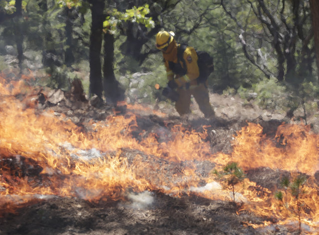 A firefighters sets a controlled burn with a drip torch while fighting the King Fire on Tuesday, September 23, 2014, in Mosquito, Calif. Strike teams from Fresno and El Dorado Cal Fire worked in conjunction with department of corrections crews in an offensive firing tactic, intended to take away fuel from the main fire. (Photo by Marcio Jose Sanchez/AP Photo)