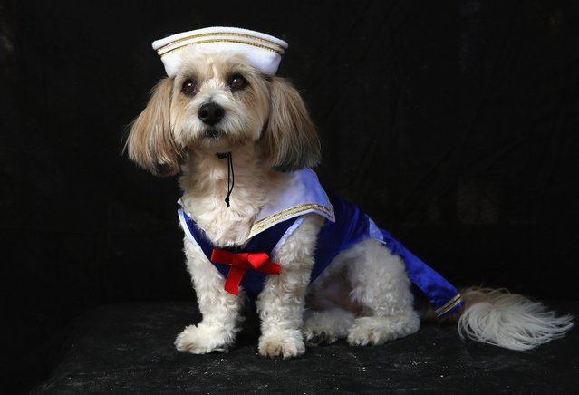 Lola, a coton breed, poses as sailor at the Tompkins Square Halloween Dog Parade on October 20, 2012 in New York City