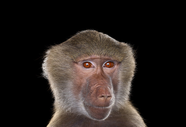 Baboon. (Photo by Brad Wilson/Caters News)