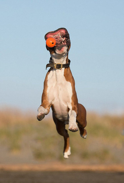Charlie The Boxer Dog