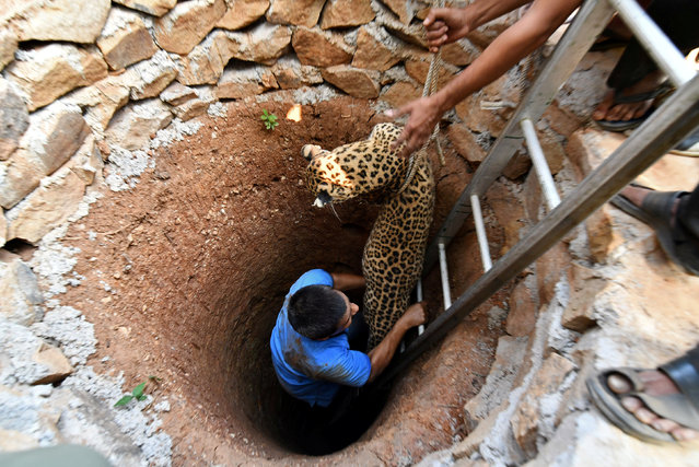 Forest officials rescue a female leopard from a dry well after tranquilising it, at a residential area in Guwahati, India, December 13, 2017. (Photo by Anuwar Hazarika/Reuters)