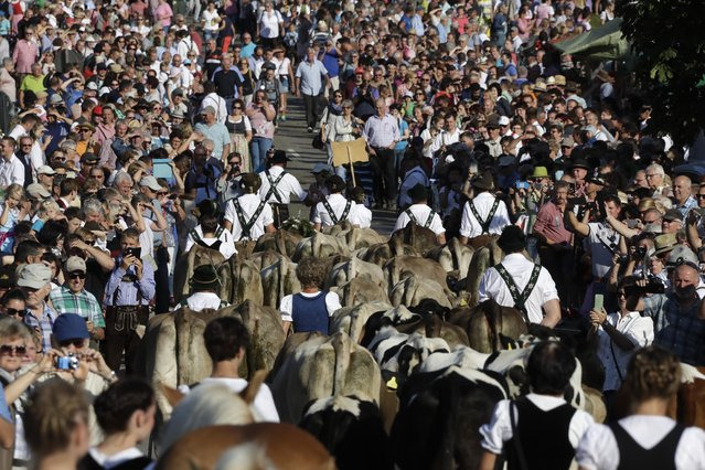 Bavarian herdsmen drive their beasts surrounded by a huge crowd of spectators during the return of the cattle from the summer pastures in the mountains near Oberstaufen, Germany, Friday, September 9, 2016. (Photo by Matthias Schrader/AP Photo)