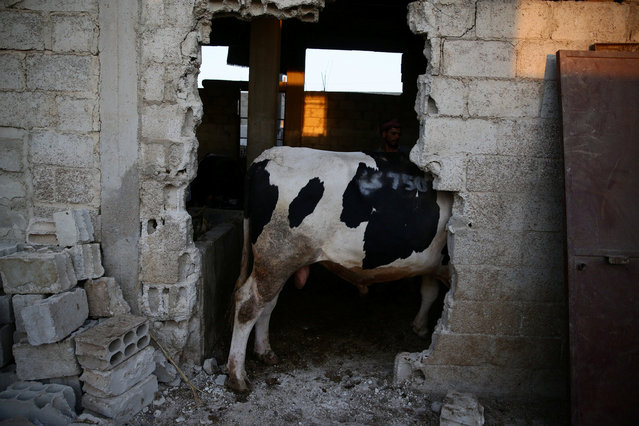 A man stands next to a cow seen through a hole in the wall prior to Eid al-Adha celebrations in the rebel held Douma neighbourhood of Damascus, Syria September 11, 2016. (Photo by Bassam Khabieh/Reuters)