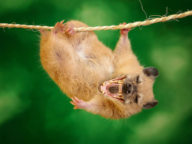 Cross between a hyena and a hamster – Laughing Hamstyna. (Photo by Sarah DeRemer/Caters News)