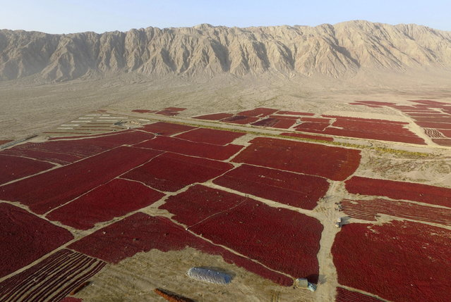 A view shows newly harvested red chilli being spread out to dry in the sun in Bayingolin Mongol Autonomous Prefecture, Xinjiang Uighur Autonomous Region, China, October 10, 2015. (Photo by Reuters/Stringer)