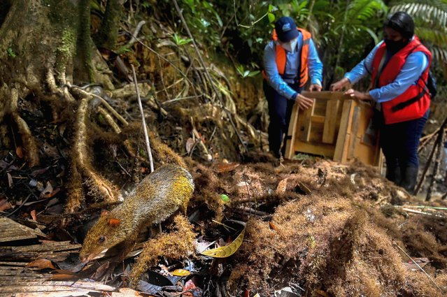 Biologists of the regional environmental entity CVC, release two Central American agoutis (Dasyprocta punctata) in a rural area of Buenaventura, Colombia, on September 11, 2020, during the National Biodiversity Day in Colombia. Environmental authorities in Colombia released about 1800 animals of different species in different areas of the country, who were recovered of illegal wildlife trafficking. (Photo by Luis Robayo/AFP Photo)