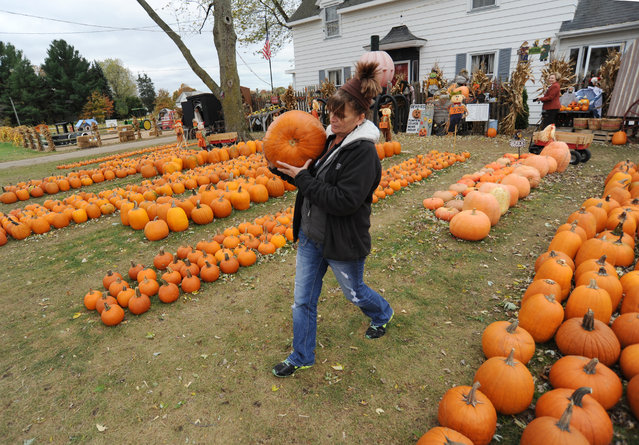 Lori Schmaltz carries a pumpkin to a customer's car Thursday, October 29, 2015, at DeVries Farms, in Lincoln Township, Mich. The family farm, in operation since 1971, offers dozens of varieties of pumpkins, gourds, and Indian corn for sale each Halloween season. (Photo by Don Campbell/The Herald-Palladium via AP Photo)