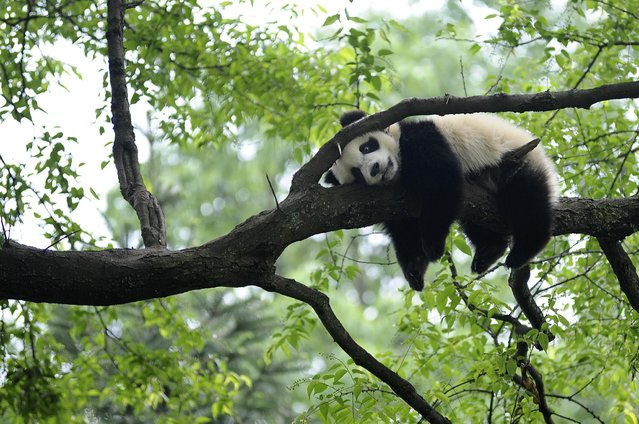 """A giant panda rests on a tree """"panda kindergarten"""", a refuge for baby pandas, inside Bifengxia giant panda base in Ya'an, Sichuan province April 26, 2013, after an earthquake hit Lushan on April 20, some 20 miles (32 km) away. According to local reports, more than half of the pandas in Bifengxia were resettled from Wolong panda base after an 7.9 earthquake in 2008 killed nearly 70,000 people. (Photo by Reuters/Stringer)"""