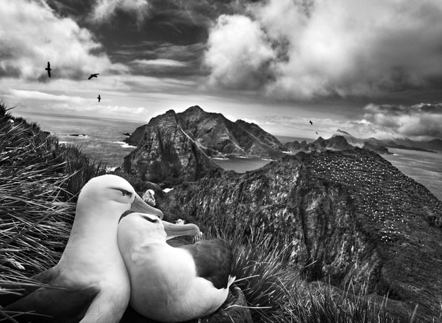 Two black-browed albatrosses nestle while overlooking the Willis Islands near South Georgia, in the far South Atlantic. (Photo by Sebastião Salgado/Amazonas/Contact Press Images)