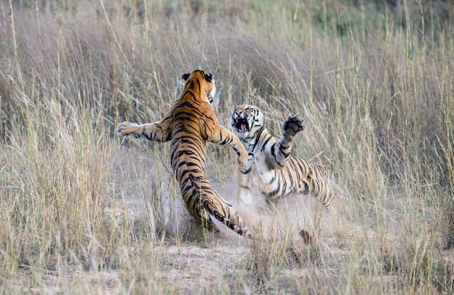 There are an estimated 3,900 tigers left in the wild and these face threats including habitat destruction, climate change and human-wildlife conflict. (Photo by Archna Singh/Barcroft Media)