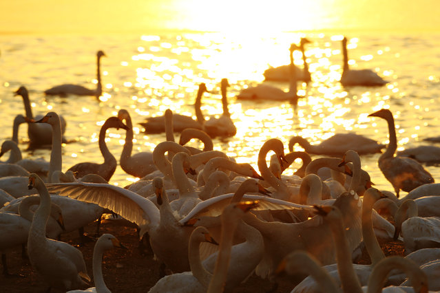 Swans are seen at a wetland park in Sanmenxia, central China's Henan Province, December 21, 2020. A large number of migratory swans flied to the wetland from Siberia to spend winter. (Photo by Xinhua News Agency/Rex Features/Shutterstock)