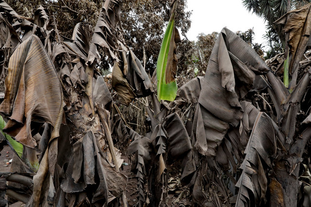Banana leafs covered with ash are seen in the area affected by the eruption of the Fuego volcano at San Miguel Los Lotes in Escuintla, Guatemala, June 8, 2018. (Photo by Carlos Jasso/Reuters)