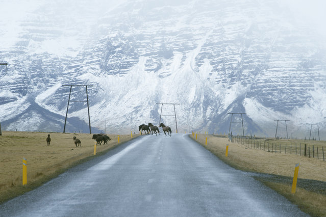 Wild horses in East Iceland. (Photo by Andy Lee/Caters News)