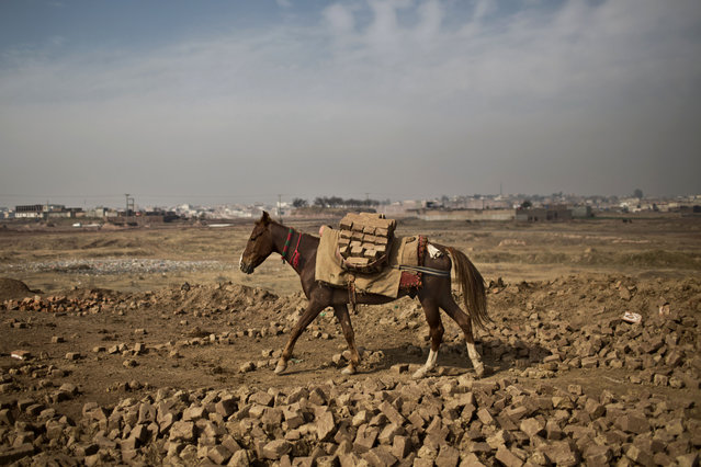 A horse transports bricks from a site to another at a Pakistani brick factory on the outskirts of Islamabad, Pakistan, Saturday, January 24, 2015. (Photo by Muhammed Muheisen/AP Photo)