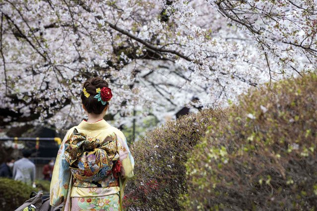 A woman dressed in Japanese traditional kimono poses with cherry blossoms in full bloom in Tokyo on March 28, 2021. (Photo by Behrouz Mehri/AFP Photo)
