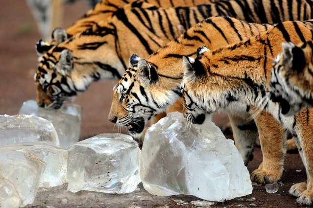 An ambush of Siberian tigers lick ice cubes to cool off in Guaipo Siberian Tiger Park in Shenyang, northeast China's Liaoning province, on August 15, 2013. (Photo by AFP Photo)