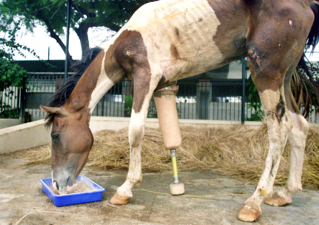 "An Indian horse nicknamed ""Macho"", fitted with an artificial leg, enjoys a meal in Bombay, India June 26, 2003. Doctors amputated the horse's front right leg and gave it a plaster of Paris prosthetic after an animal welfare group found it on a highway bleeding from a leg wound. (Photo by Roy Madhur/Reuters)"