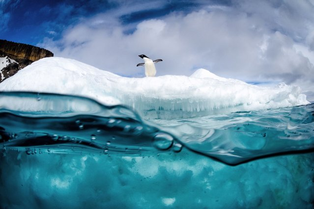 These playful penguins are not fazed by the sub-zero temperatures as they dive into freezing water from a giant iceberg, on Oktober 27, 2013. (Photo by Justin Hofman/Solent News)