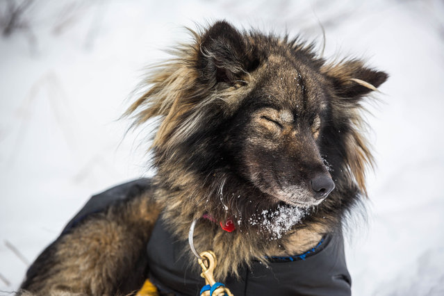 Chilkat, one of Jessie Royer's dogs, gets some shuteye at the Koyuk, Alaska, checkpoint during the Iditarod Trail Sled Dog Race, Monday, March 16, 2015. (Photo by Loren Holmes/AP Photo/Alaska Dispatch News)