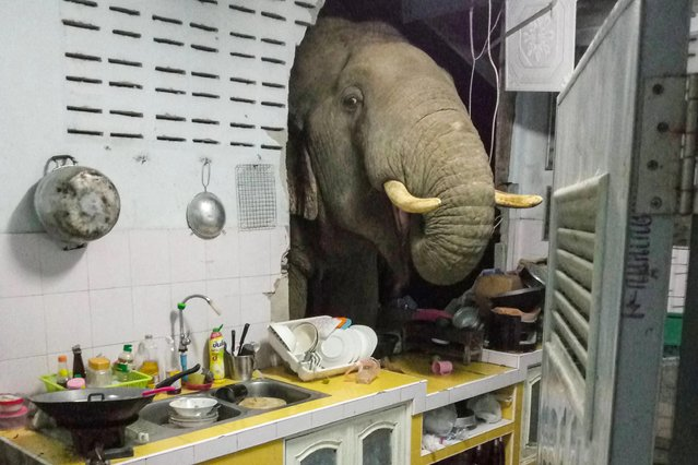 This photograph taken on June 20, 2021 and received courtesy of Radchadawan Peungprasopporn via her Facebook account on June 22, 2021 shows an elephant searching for food in the kitchen of her home in Pa La-U, Hua Hin. (Photo by Radchadawan Peungprasopporn/Facebook via AFP Photo)