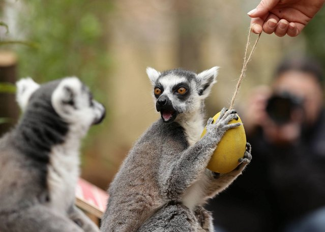 Lemurs feed from hollowed out papier mache eggs filled with steamed vegetable as they celebrate Easter with an Easter egg hunt at London Zoo in Regent's Park, London on April 2, 2015. (Photo by Yui Mok/PA Wire)