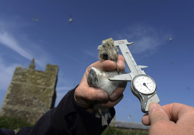 A ranger measures an arctic tern chick on the Farne Islands off the Northumberland coast, northern England July 8, 2013. (Photo by Nigel Roddis/Reuters)