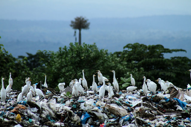 A siege of herons looks for food among the waste at a landfill in Lhokseumawe, Aceh, Indonesia on November 30, 2018. Reports say plastic waste in Indonesia reaches 64m tons per year. (Photo by Fachrul Reza/Barcroft Images)